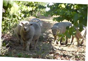 [sheep]