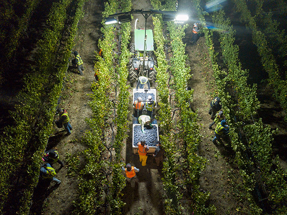 Aerial view of Navarro's tractor and lights, with four rows of vineyard being picked simultaniously.