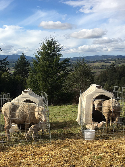 Two lambing stations with ewes and lambs.