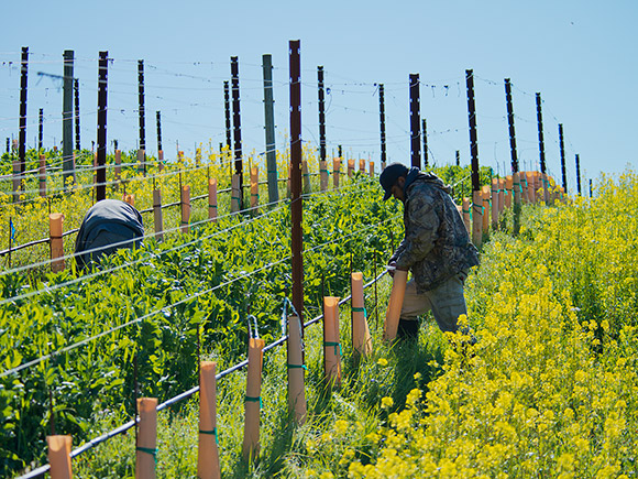 Vineyard crew doing early spring work, amidst the alternating rows of cover crop.