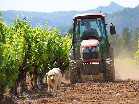 Al Tollini, grape grower, driving his tractor through his vineyard with his dog, Nomor.
