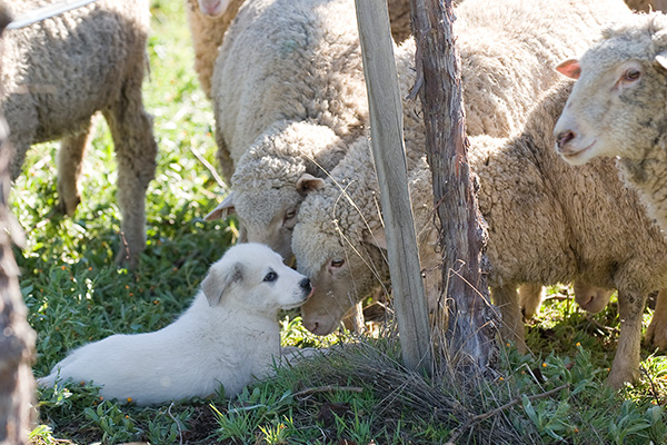 Capo as a puppy, a livestock guardian dog, being introduced to a flock of interested sheep.