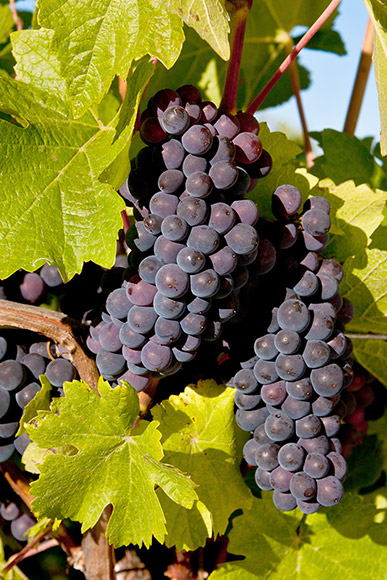 Pinot Gris cluster, in a near identical color to Pinot Noir, making identification difficult.