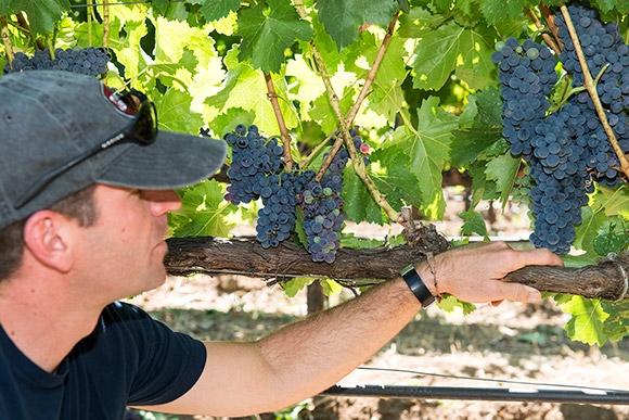 Heath Dolan, grape grower, inspecting biodynamically grown Syrah grapes at Dark Horse Vineyards.