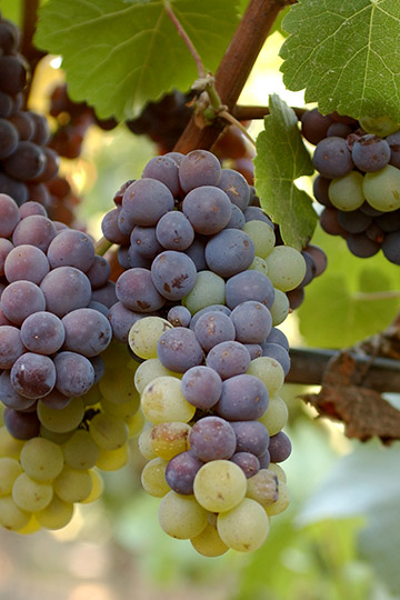 A cluster of Pinot Gris showing that sometimes a cluster with two colors of berries.