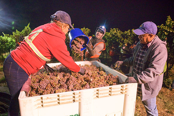 Vineyard night-harvester pouring a bucket of Gewürztraminer grapes into a bin while sorters pick out any leaves.