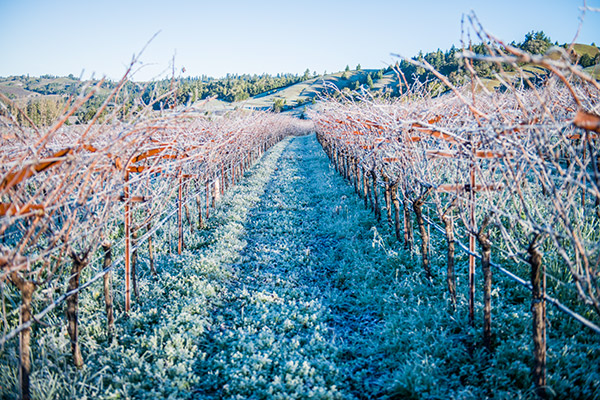 Winter view of vineyards with frost covering the dormant grapevines.