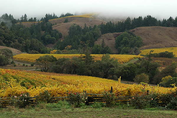 Fall view of vineyards with low clouds and yellowing grapevines.