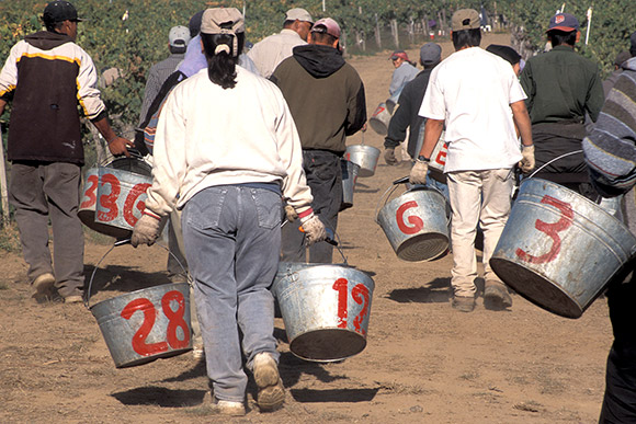 Vineyard harvest in the late ninties. Buckets with red painted numbers to tally who to pay.