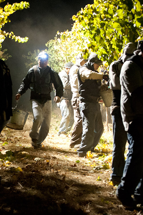 Vineyard harvest at night with headlamps and buckets.