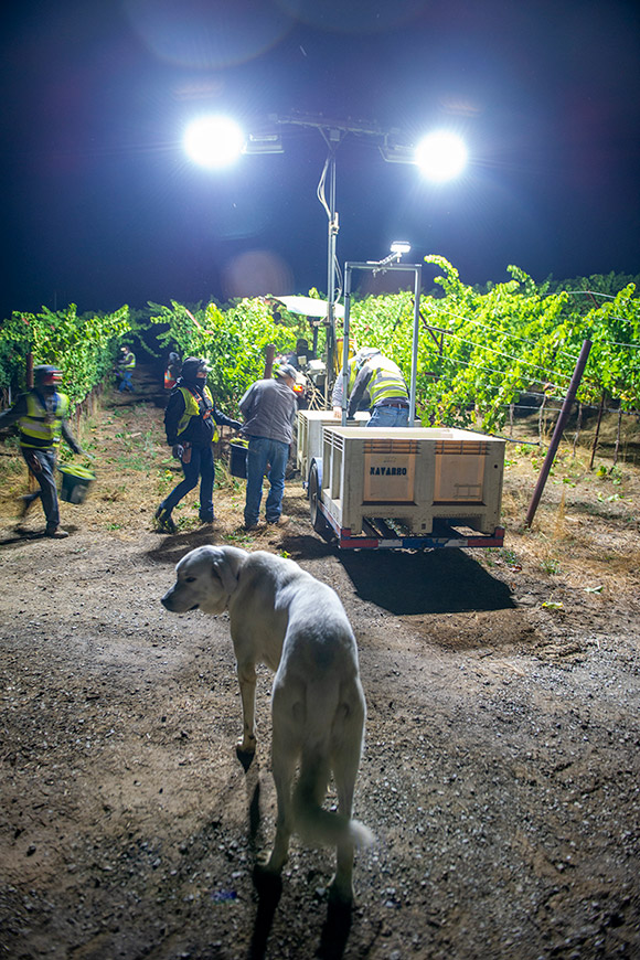 Luke, ranch guard dog watches over the night grape harvest.