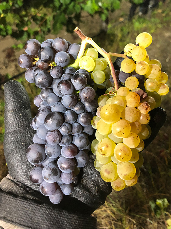 A cluster of Pinot Gris showing a genetic instability presenting in both Blanc and Gris grapes on the same cluster.